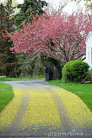 Free Driveway Cherry Tree Blossom Royalty Free Stock Photos - 11242428