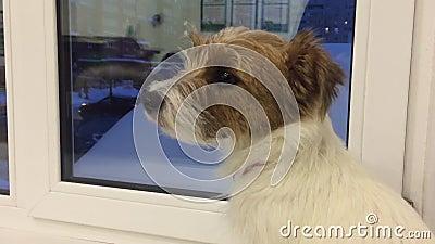 Droevige hond die aan de wachtende eigenaar van het avondvenster in huis kijkt Binnenlands huisdier en dier stock footage