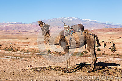 Dromedar in the High Atlas of Morocco