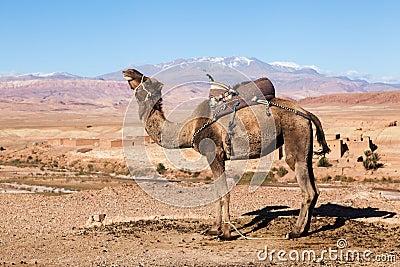 Dromedar in the High Atlas of Morocco