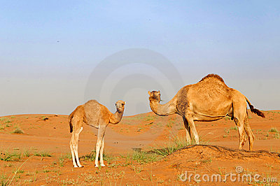 Dromedary and calf in desert