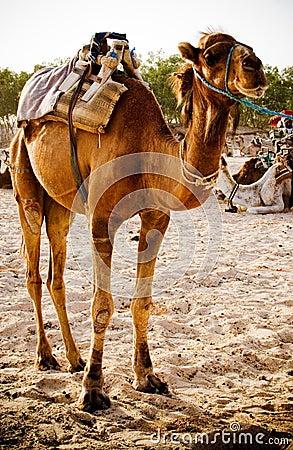 Free Dromedary Camel Stock Images - 2934364