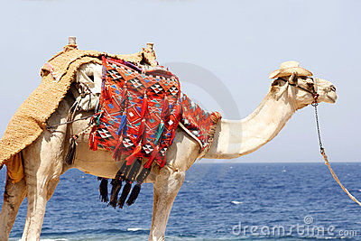 Dromedary by the red sea