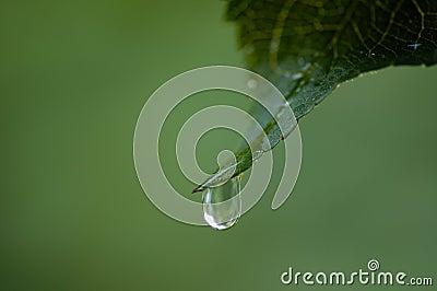 Drop hanging  on leaf tip