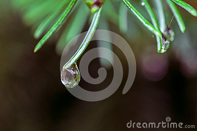 A drop of water on the pine needle