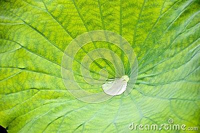 Droplet in lotus flower leaf