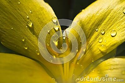 Droplets on Flower Petals