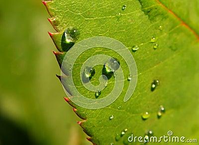 Droppar på en leaf