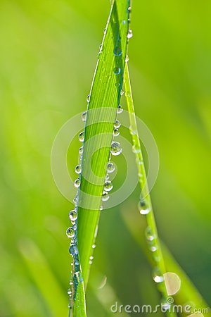 Drops of dew on a grass