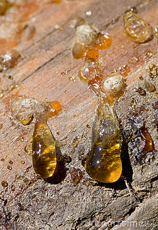 Free Drops Of Pine Resin Royalty Free Stock Photos - 13995898