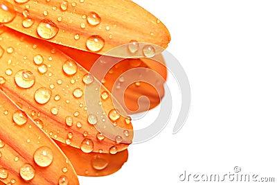 Drops on petal