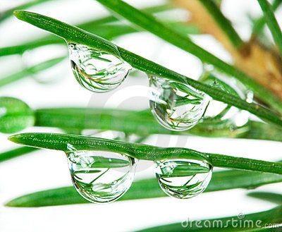 Drops on pine-tree