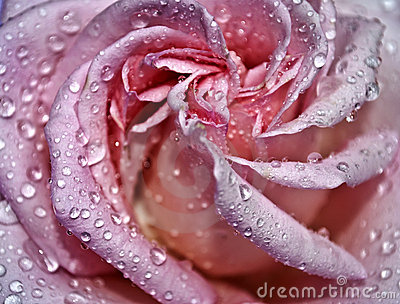 Drops on a pink rose