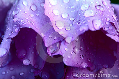 Drops on pion petals