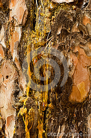 The drops of resin flow down on the bark of pine-tree