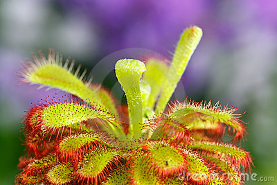 Drosera aliciae flower stem with bristles,a carniv