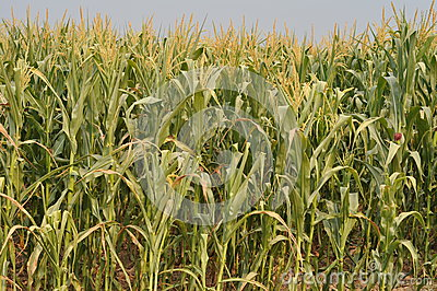 The drought  Maize