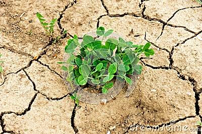 Drought plant