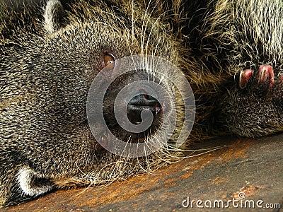 Drowsy Bearcat