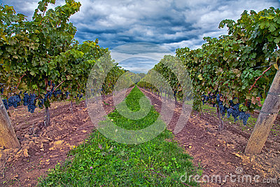 Druvor på vinen