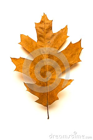 Free Dry Autumn Oak Leaf On  Over White Stock Photography - 99361992