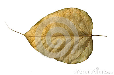 Dry Bo leaves isolated