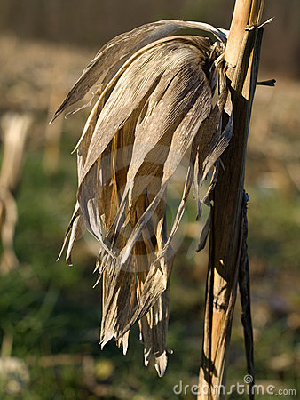 Dry corn stalk