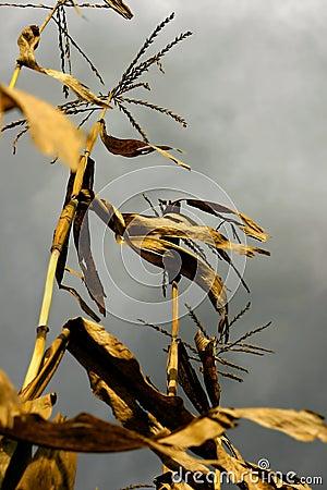 Free Dry Corn Stalks Stock Photography - 43332