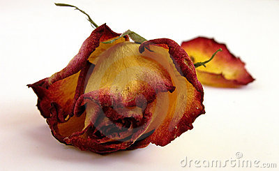Dry Decaying Rose