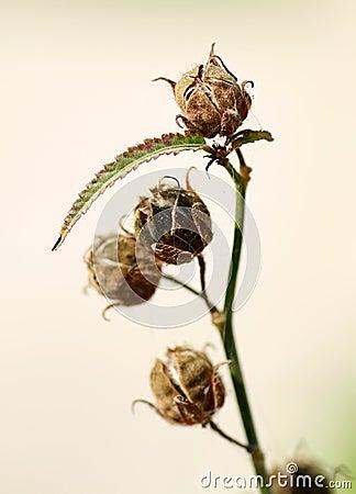 Dry flower buds
