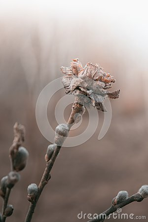 Free Dry Flower Spring Sadness Beige Buds Branches Tender Willow Garden Plants Stock Image - 103219351