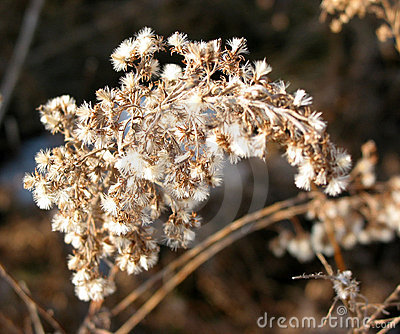 Dry flower in winter