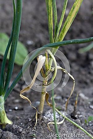 Dry garlic