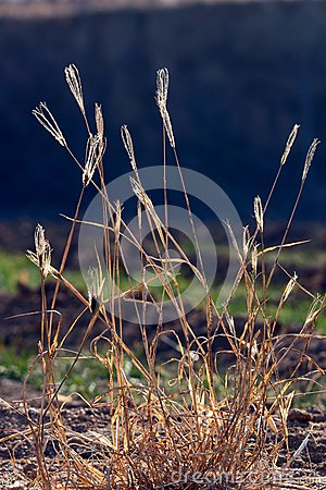 Dry grass  in backlit