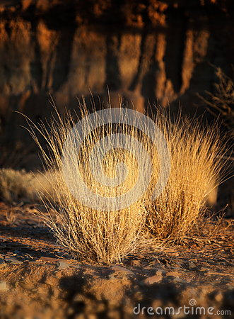 Dry grass glowing in sunset light. Flinders Ranges. South Austra