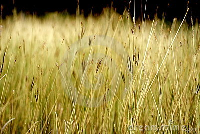 Dry grasses in water