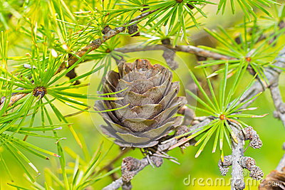 Dry larch cone and needles