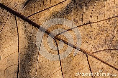 Dry leaf veins closeup
