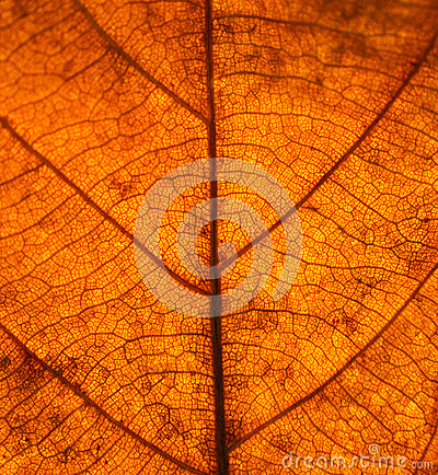 Free Dry Leaves Veins Texture. Close Up On Leaf Texture. Leaf Veins M Stock Image - 93265281
