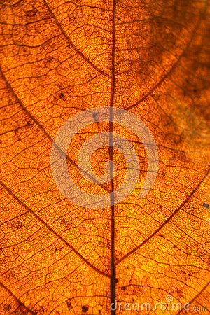 Free Dry Leaves Veins Texture. Close Up On Leaf Texture. Leaf Veins M Royalty Free Stock Photography - 93265287