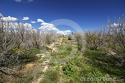 Dry Lemon Tree Plantation