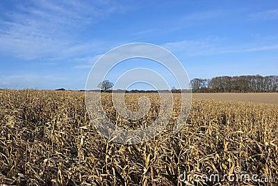 Dry maize plants