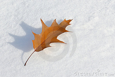 Dry maple leaf on winter snow