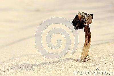 Dry mushroom in the sand