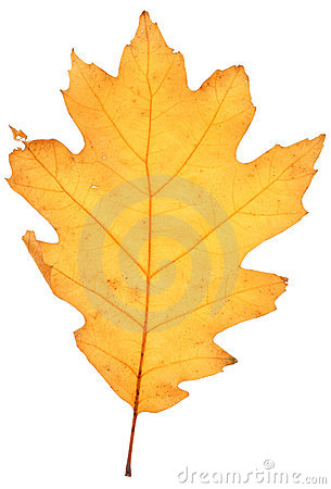 Free Dry Oak Leaf Stock Images - 3548284