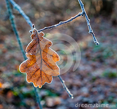Free Dry Oak Leaf  Covered With Frost Stock Photo - 52304410