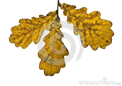 Dry oak leaves isolated on white
