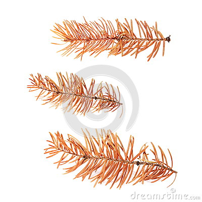 dry pine twigs isolated on white