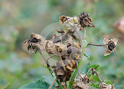 Dry pollen