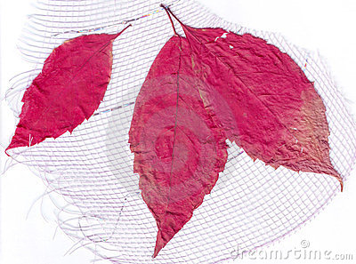 Dry red leaves